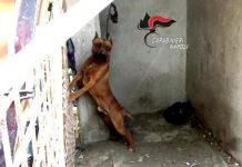 Cercola, lega il cane in maniera impietosa: denunciato padrone