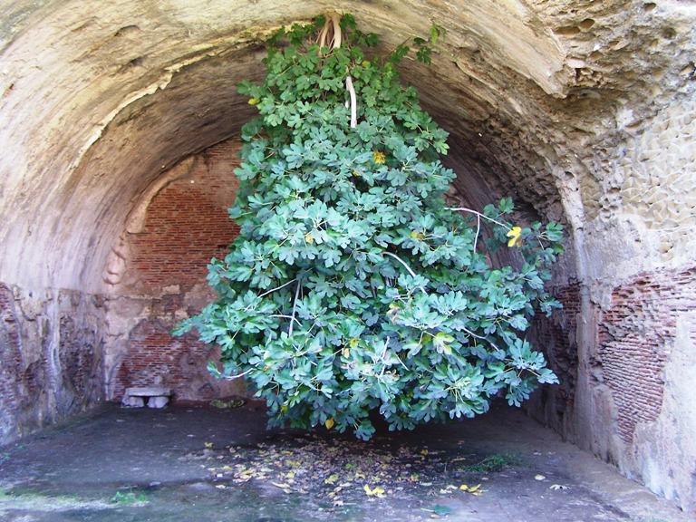 Bacoli, lo strano caso dell'albero che cresce all'incontrario