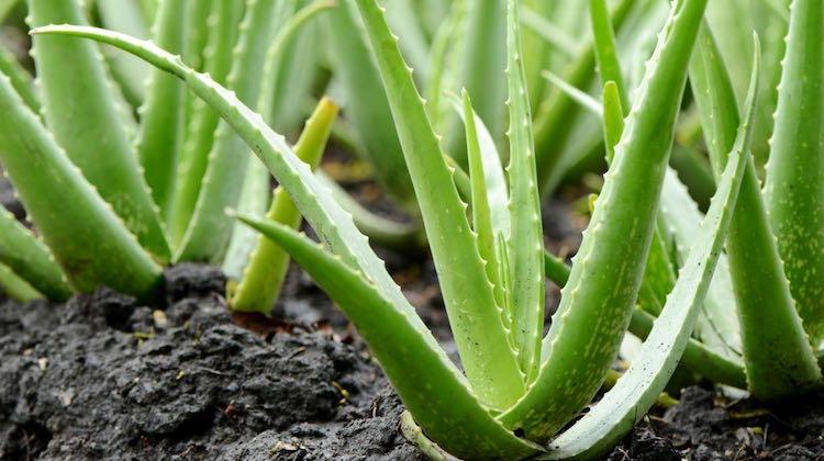 Aloe contro il cancro