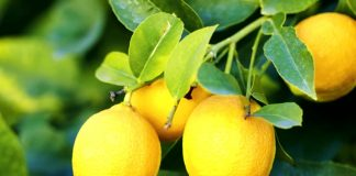 Festa dei limoni, Massa Lubrense:sagra che profuma d'estate