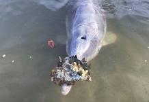 Ai Delfini mancano gli umani ai quali portano doni dal mare