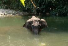 India, elefantessa incinta: arrestato l'uomo che ha creato l'ananas esplosiva