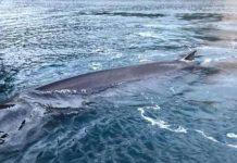 Balena arenata in Campania: morta nel golfo di Sorrento