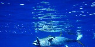 Ischia, pescato un tonno con una siringa nella pancia